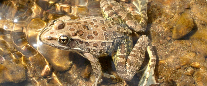 Lowland leopard frog in the San Pedro River