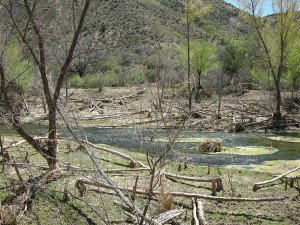 Trees downed by beavers along Verde River.